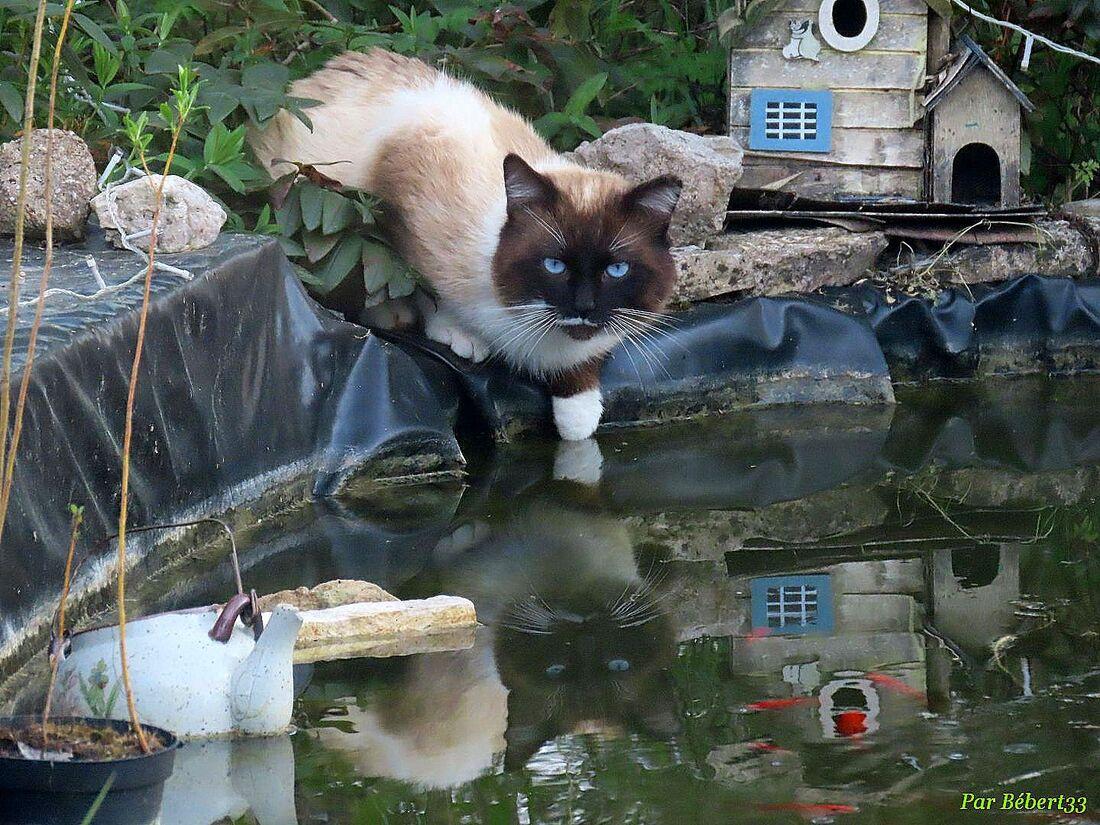 un minou qui boit dans mon bassin