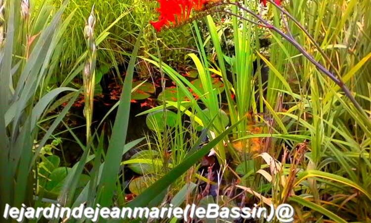 dans mon jardin le bassin tout les ans est magnifique