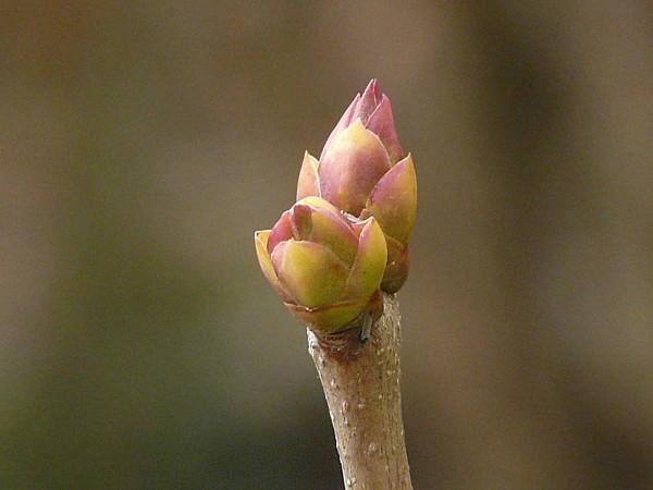 Bourgeon lilas