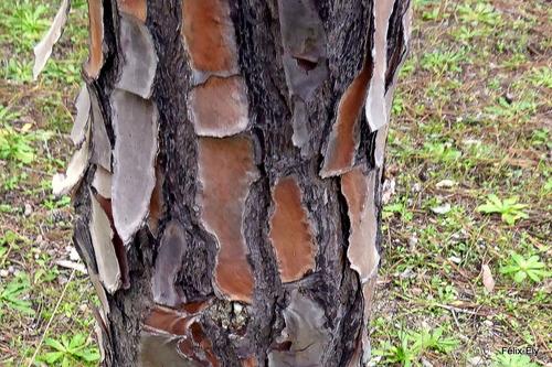 Dans la pinède ; écorce et tronc (2)