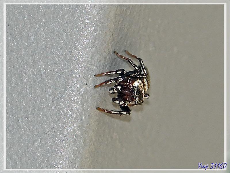 Araignée saltique Heliophanus aeneus avec ses deux points blancs sur son abdomen - La Couarde-sur-Mer - Ile de Ré - 17