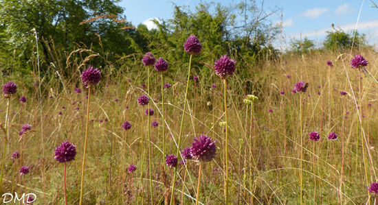 Allium sphaerocephalon - ail à tête ronde