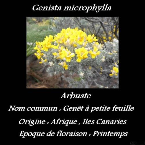 Genista microphylla