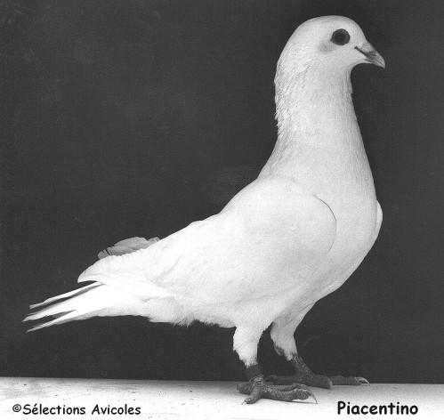 Piacentino