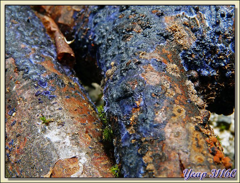 Champignon Croûte bleue (Pulcherricium caeruleum) - Lartigau - Milhas - 31  (Flore)