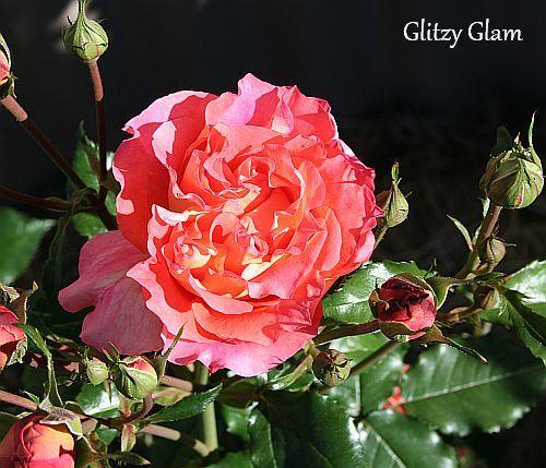 Les roses de Warren : Glitzy Glam
