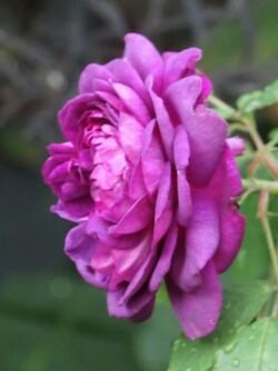 Début aôut et le retour des roses