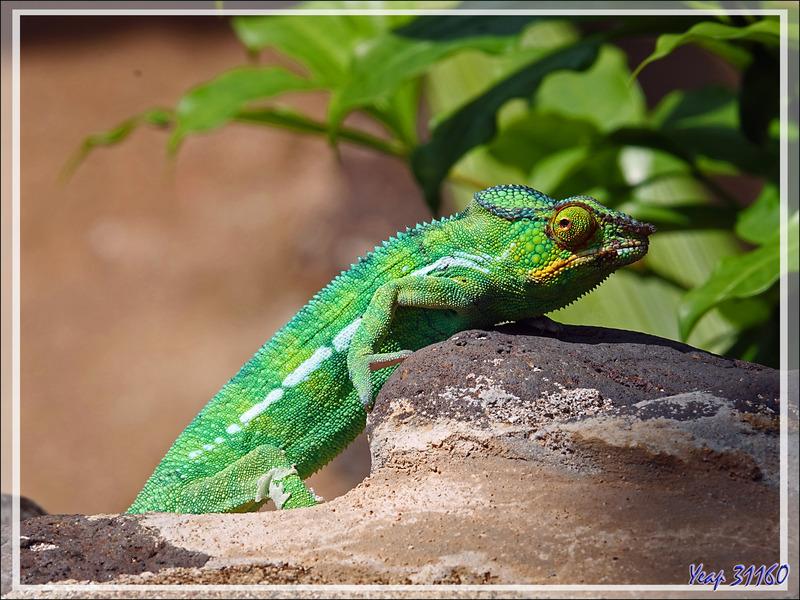 Caméléon panthère mâle, Panther chameleon (Furcifer pardalis) - Nosy Sakatia - Madagascar