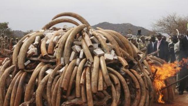 L'éléphant d'Afrique est menacé à court terme