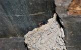 Hirondelle rustique - p 258