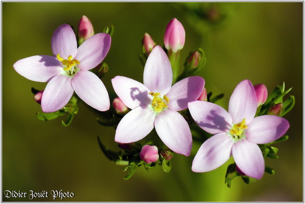 Petite Centaurée / Centaurium erythraea