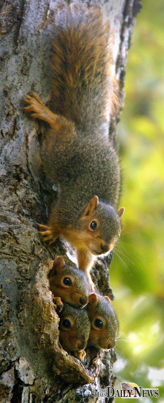 Squirrel Family: