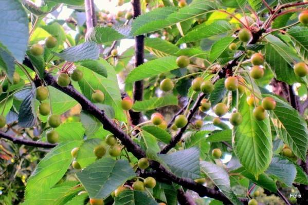 x03 - Branches de merisier