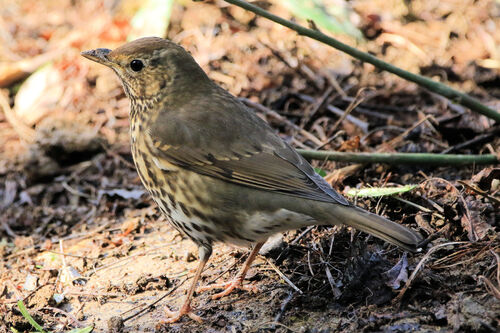 Grive musicienne (Song Thrush)