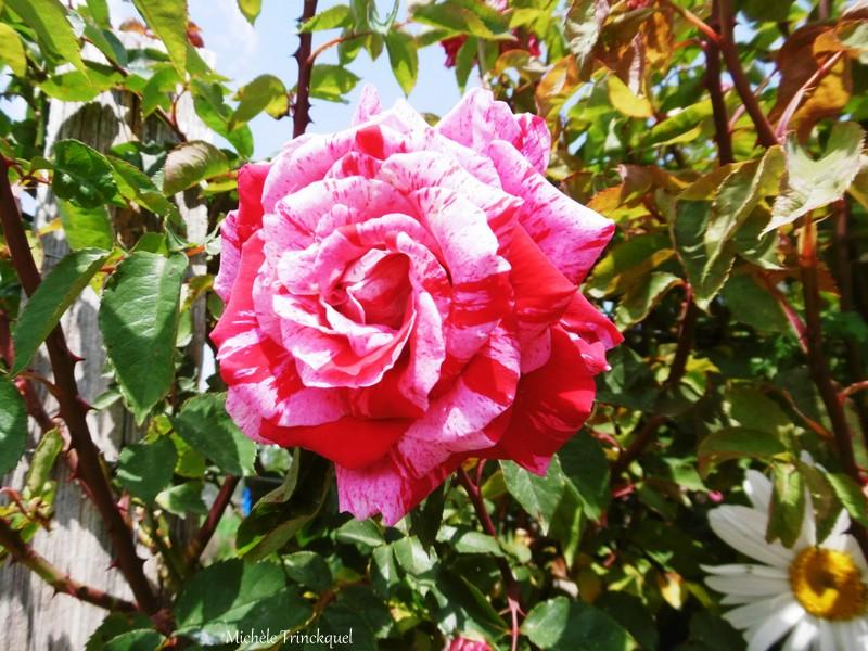 La Rose du samedi...