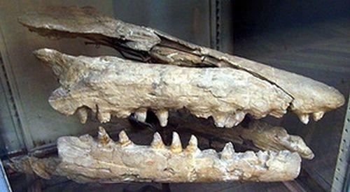 Le Mosasaure Mosasauridae