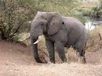 L'éléphant d'Afrique