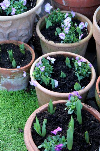 Des compagnes pour mes... tulipes