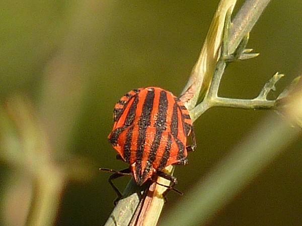 Punaise rayée-pentatomidae graphosoma italicum