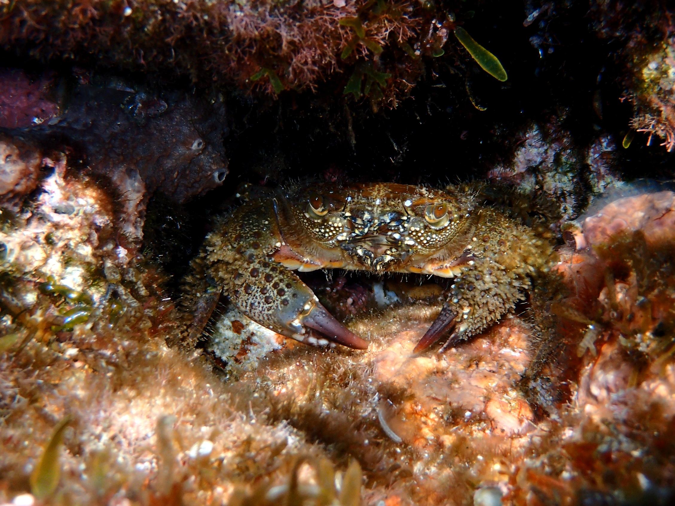 crabe verruqueux