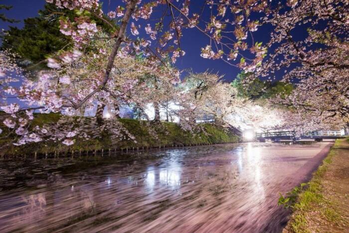 La floraison des fameux cerisiers au Japon