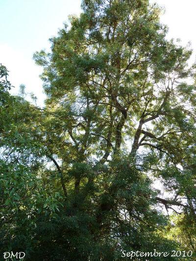 Fraxinus excelsior  -  frêne élevé