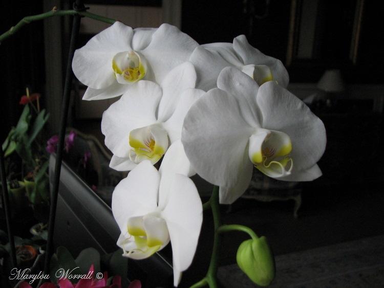 Une de mes orchidées blanches