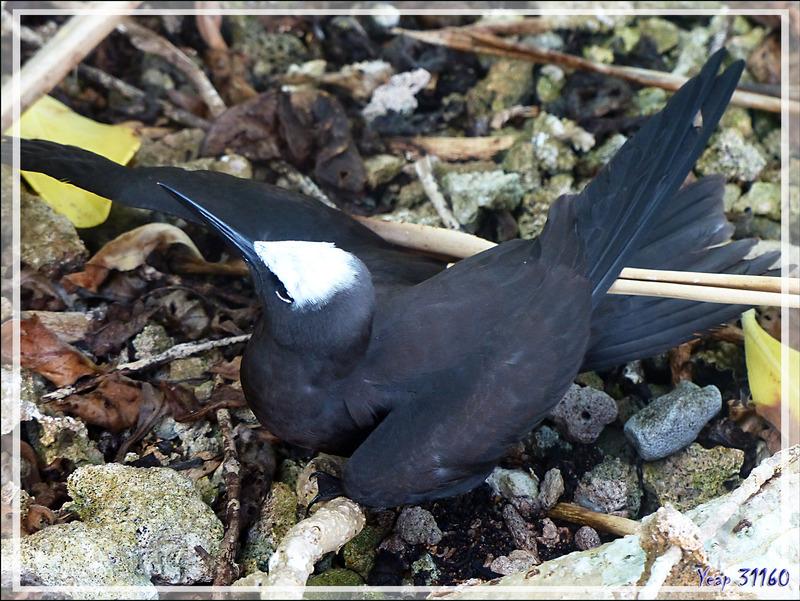 Jeunes Noddis noirs, Black Noddy (Anous minutus) - Ile aux oiseaux - Vers la passe sud Tumakohua (Tetamanu) - Atoll de Fakarava - Tuamotu - Polynésie française