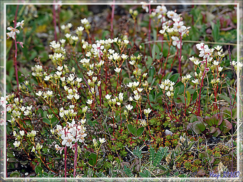 Saxifrage à trois dents, Three-toothed saxifrage (Saxifraga tricuspidata) et Pyrole à feuilles rondes, Large-flowered wintergreen (Pyrola rotundifolia) - Pond Inlet - Baffin Island - Nunavut - Canada
