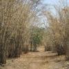 Mali On passe dans une forêt de bambous