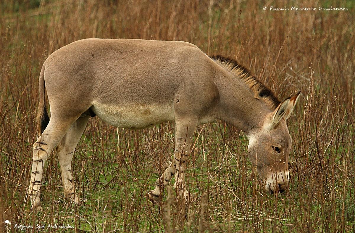 Âne sauvage de Somalie - Equus asinus somalicus