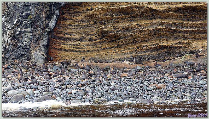 La plage aux otaries (The Glen) - Quest Bay - Gough Island - Tristan da Cunha