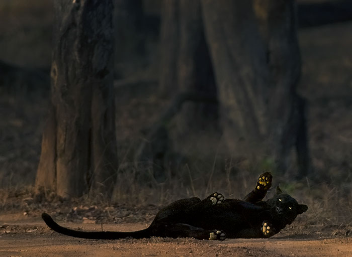 «Je pourrais attendre 6 ans pour un moment comme celui-ci»: un photographe animalier attend 6 jours pour un léopard parfait et un coup de panthère noire