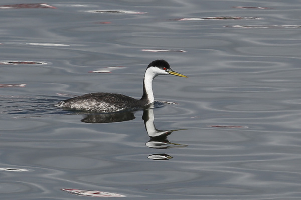 Western Grebe - Long Beach