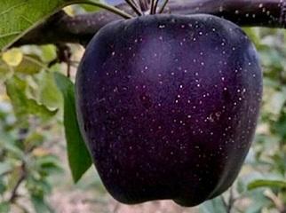 La pomme noire du Tibet ...
