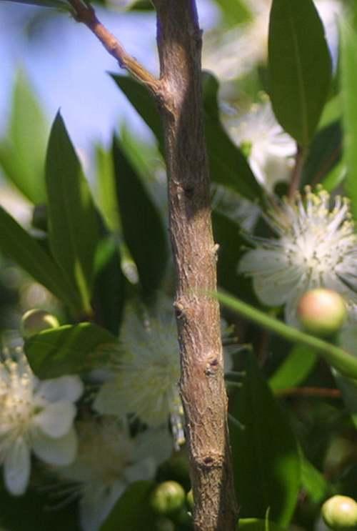 Vertus médicinales des plantes sauvages : Myrte