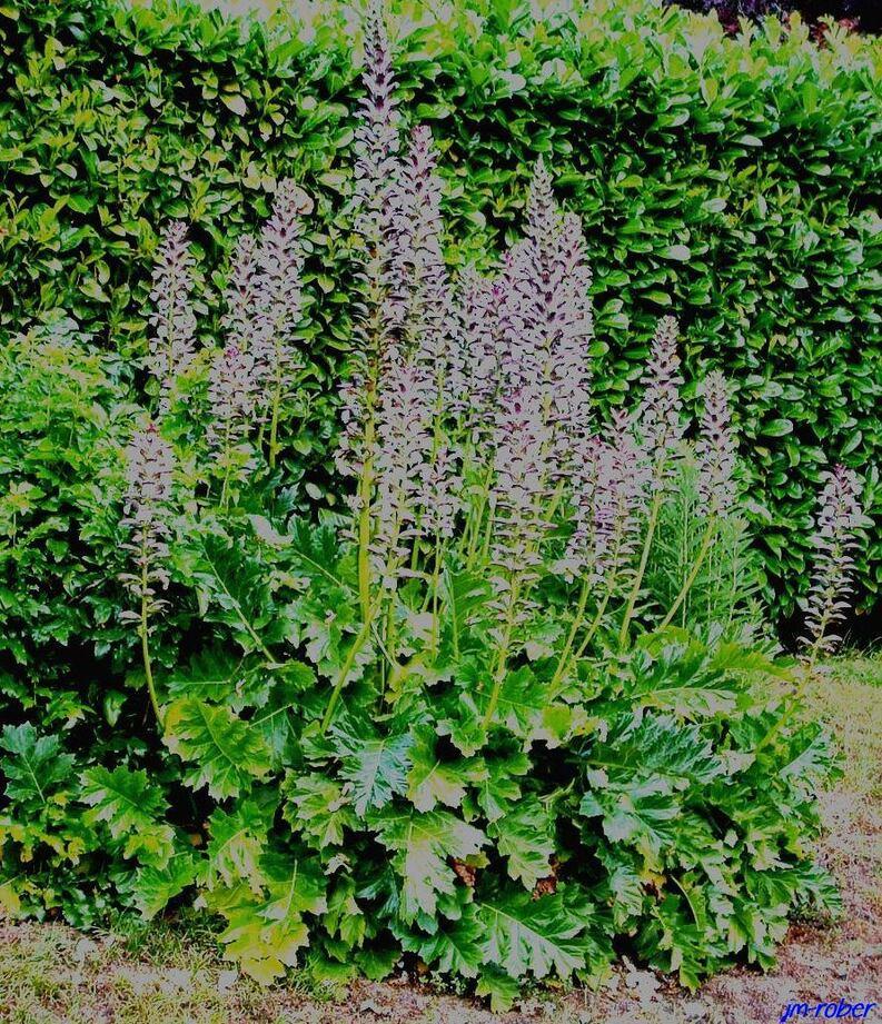 L'Acanthe, une nymphe avant d'être une plante herbacée