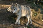 Les loups de Gevaudan à Sainte Lucie en Lozère