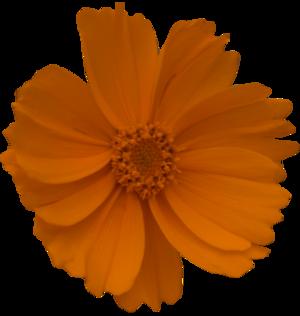 Tubes Fleurs orange