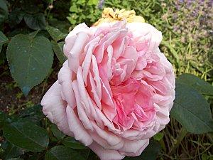 english-rose-rose.jpg
