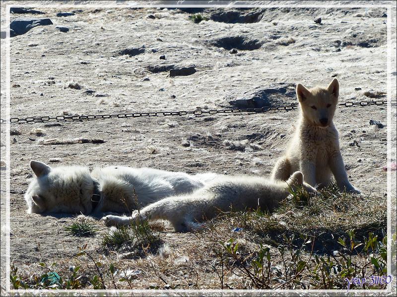 Chiens et traîneaux - Ilulissat - Groenland