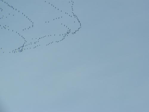 La grande migration des grues cendrées  commence : Gallocanta (Espagne)- Limousin (Flavignac) – le lac du Der