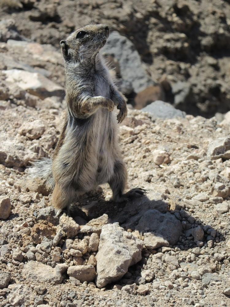 L'écureuil de Barbarie, à Fuerteventura...