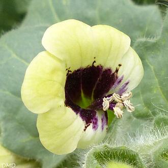 Hyoscyamus albus  -  jusquiame blanche
