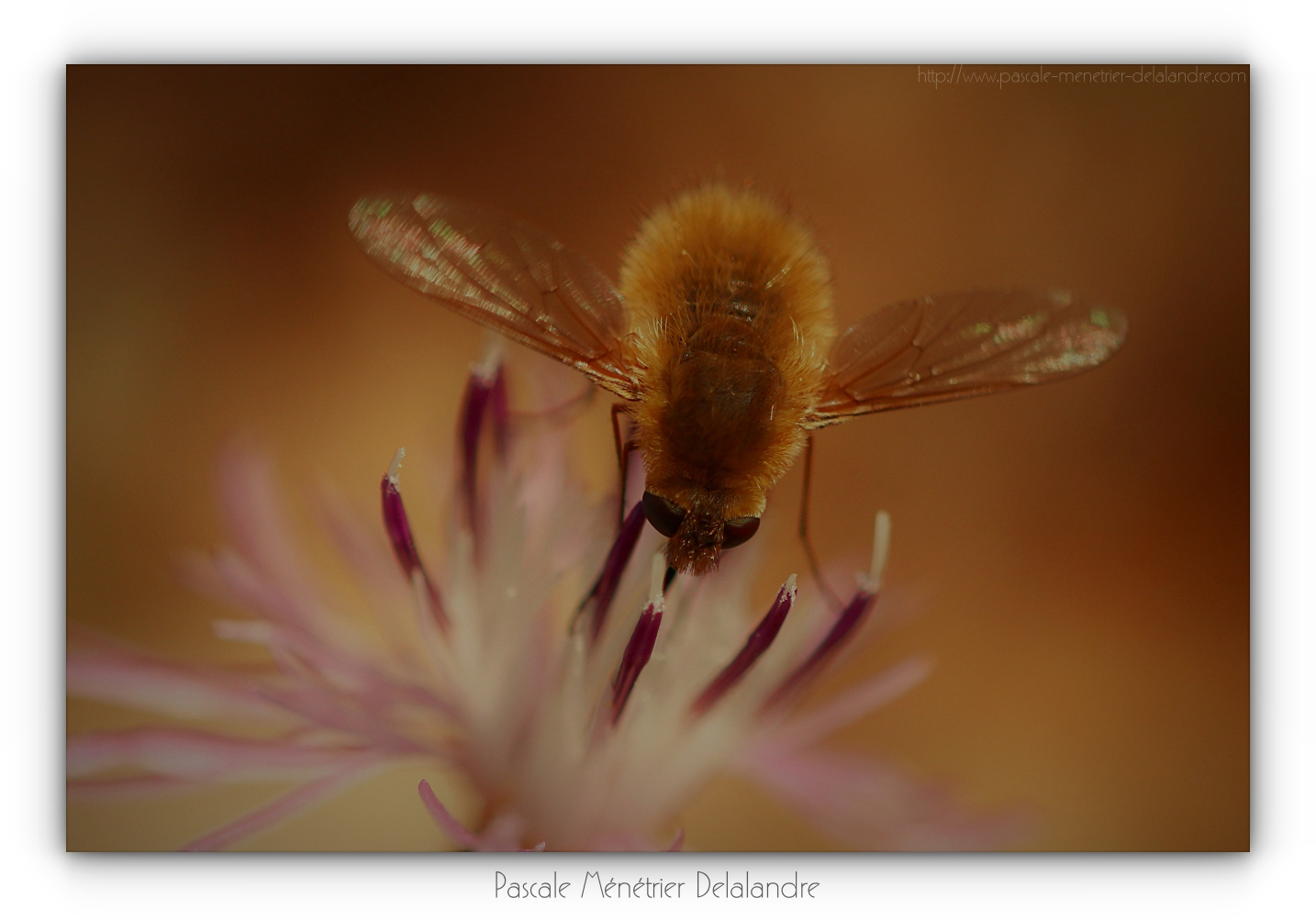 Bombyle minor ♀