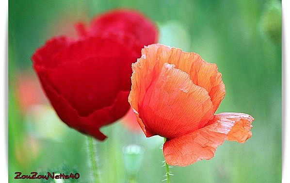 COQUELICOT-N--3-.jpg