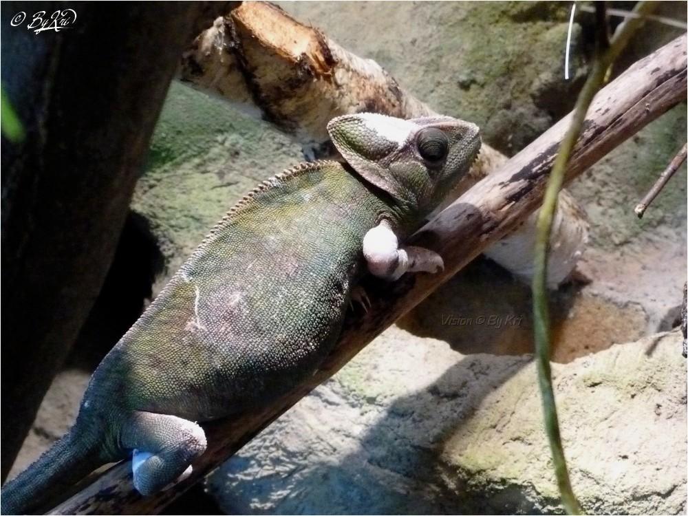Caméléon casqué du Yémen ( Chamaeleo calyptratus )...