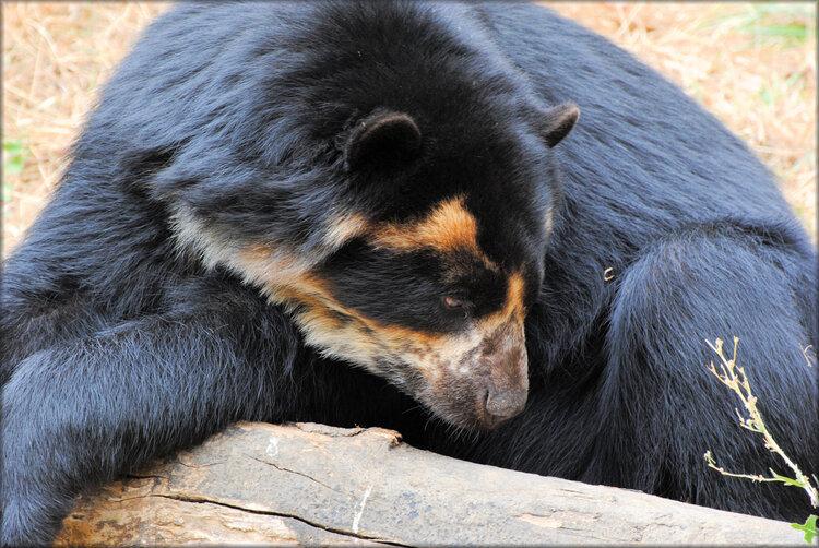 Ours à lunettes (Zoo de Doué la Fontaine)