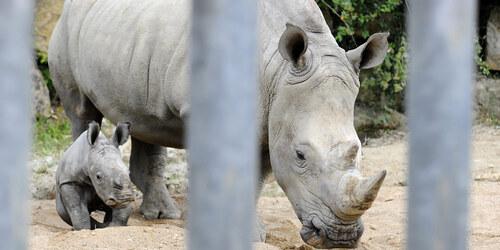 Naissance d'un rhinocéros blanc.