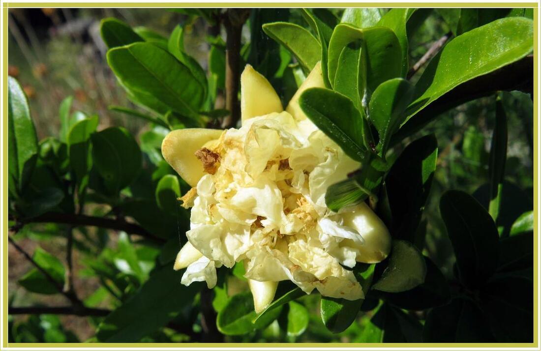 Punica granatum : fleur de grenadier